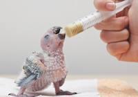 perroquet conséquence de l'élevage commercial à la main