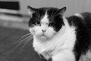 certificat de santé du chat obligatoire, vétérinaire, ASV