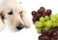 toxicité du raisin chez le chien article auxivet