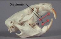 Crâne de rongeur