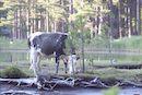 visites sanitaires bovines - ASV
