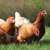 Influenza aviaire détectée en France