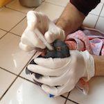 gavage d'un pigeon au CEDAF
