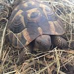 hibernation des tortues