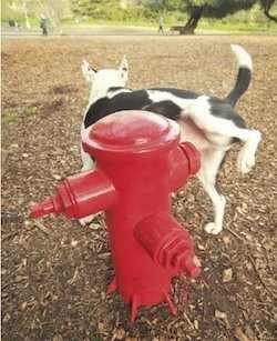 marquage urinaire du chien - article auxivet