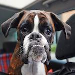 chien en voiture et soleil