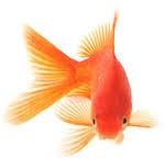 poisson rouge opération tumeur